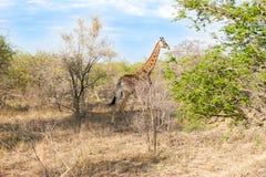 Άγριο Reticulated Giraffe και αφρικανικό τοπίο στο εθνικό πάρκο Kruger σε UAR Στοκ φωτογραφία με δικαίωμα ελεύθερης χρήσης