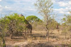 Άγριο Reticulated Giraffe και αφρικανικό τοπίο στο εθνικό πάρκο Kruger σε UAR Στοκ Φωτογραφία