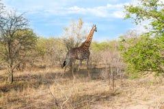 Άγριο Reticulated Giraffe και αφρικανικό τοπίο στο εθνικό πάρκο Kruger σε UAR Στοκ Εικόνες
