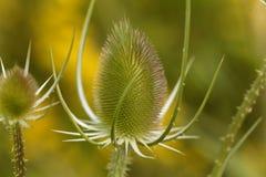 Άγριο teasel, fullonum Dipsacus Στοκ Εικόνες
