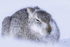 Άγριο timidus Lepus βουνών στοκ εικόνα με δικαίωμα ελεύθερης χρήσης