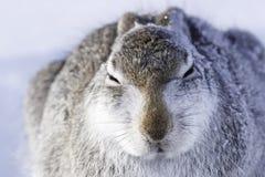 Άγριο timidus Lepus βουνών στοκ φωτογραφία με δικαίωμα ελεύθερης χρήσης