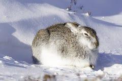 Άγριο timidus Lepus βουνών στοκ εικόνες με δικαίωμα ελεύθερης χρήσης