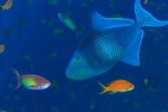 Άγριο triggerfish υποβρύχιο Στοκ εικόνα με δικαίωμα ελεύθερης χρήσης