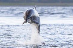 Άγριο truncatus δελφινιών bottlenose tursiops στοκ φωτογραφία