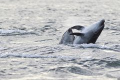 Άγριο truncatus δελφινιών bottlenose tursiops Στοκ Εικόνα
