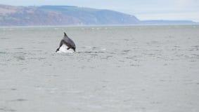 Άγριο truncatus δελφινιών bottlenose tursiops Στοκ Εικόνες