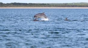 Άγριο truncatus δελφινιών bottlenose tursiops Στοκ εικόνα με δικαίωμα ελεύθερης χρήσης