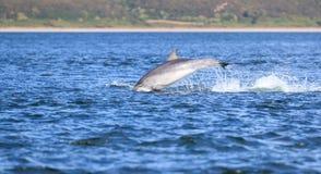 Άγριο truncatus δελφινιών bottlenose tursiops Στοκ φωτογραφία με δικαίωμα ελεύθερης χρήσης