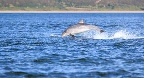 Άγριο truncatus δελφινιών bottlenose tursiops Στοκ φωτογραφίες με δικαίωμα ελεύθερης χρήσης