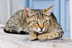 άγρυπνη γάτα Στοκ Εικόνες