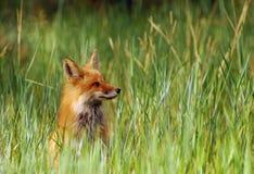 Άγρυπνη κόκκινη αλεπού στην υψηλή χλόη Στοκ Εικόνες
