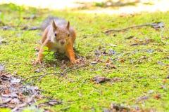 Άγρυπνος νέος σκίουρος Στοκ Εικόνα