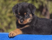 Άγρυπνο αρσενικό κουτάβι Rottweiler που βρίσκεται σε μια μπλε πετσέτα στοκ εικόνες με δικαίωμα ελεύθερης χρήσης