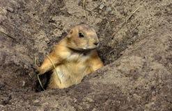 Άγρυπνο γένος Cynomys σκυλιών λιβαδιών κοντά στις τρύπες των φωλιών τους Στοκ Εικόνες