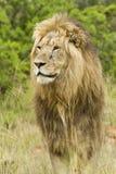 Κοιτάζοντας επίμονα λιοντάρι Στοκ Εικόνες