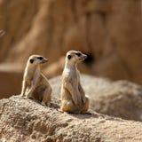 άγρυπνο suricata δύο στάσης Στοκ Εικόνες