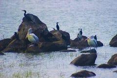 Άδυτο πουλιών Attidiya Σρι Λάνκα στοκ εικόνα