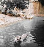 Άδυτο τιγρών στοκ φωτογραφία