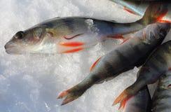 Άθεος ψαριών Στοκ Φωτογραφία