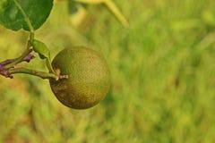 Άκαρι σκουριάς εσπεριδοειδών στα φρούτα ασβέστη Στοκ Φωτογραφία