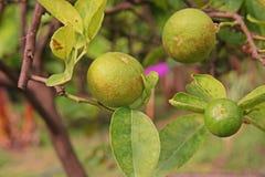 Άκαρι σκουριάς εσπεριδοειδών στα φρούτα ασβέστη Στοκ Εικόνες