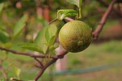 Άκαρι σκουριάς εσπεριδοειδών στα φρούτα ασβέστη Στοκ Εικόνα