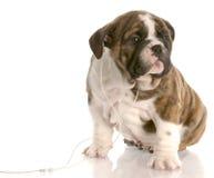 άκουσμα σκυλιών Στοκ Φωτογραφία