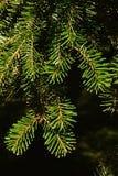 Άκρες των κλάδων του ασημένιου έλατου Veitchii έλατου Veitch ` s κωνοφόρων δέντρων κατά τη διάρκεια της εποχής φθινοπώρου στο σκο Στοκ Φωτογραφίες