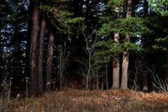 Άκρη τοπίων ενός πεύκου στοκ εικόνα