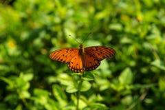 Άκρη του δρόμου πεταλούδων του δρόμου της Hana Στοκ εικόνες με δικαίωμα ελεύθερης χρήσης