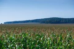 Άκρη cornfield το καλοκαίρι Στοκ Εικόνες