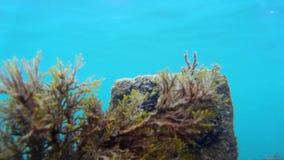 Άλγη και seagrass υποβρύχια στη θάλασσα σε έναν ρηχό βυθό, φυσικό φως απόθεμα βίντεο