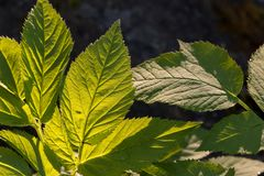 Άλεσε τα παλαιότερα φύλλα podagraria Aegopodium Στοκ φωτογραφία με δικαίωμα ελεύθερης χρήσης