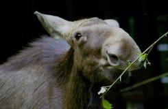 άλκες αγελάδων Στοκ φωτογραφία με δικαίωμα ελεύθερης χρήσης