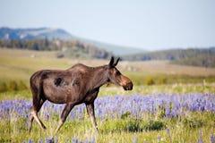 άλκες λιβαδιών αγελάδων Στοκ φωτογραφία με δικαίωμα ελεύθερης χρήσης
