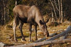 άλκες νορβηγικά Στοκ Φωτογραφία