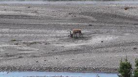 Άλκες που γρατσουνίζουν σε μια κοίτη ποταμού στο εθνικό πάρκο Denali, Αλάσκα, ΗΠΑ απόθεμα βίντεο