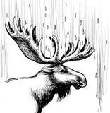 Άλκες στη βροχή Στοκ Φωτογραφίες