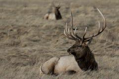 Άλκες του Bull που στηρίζονται στην κίτρινη χλόη στοκ εικόνες με δικαίωμα ελεύθερης χρήσης