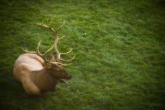 Άλκες του Bull στις μαμμούθ καυτές ανοίξεις στο εθνικό πάρκο Yellowstone στοκ εικόνα με δικαίωμα ελεύθερης χρήσης