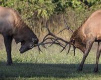 Άλκες του Bull Στοκ Φωτογραφία