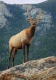 Άλκες υψηλές στα βουνά στοκ εικόνα με δικαίωμα ελεύθερης χρήσης