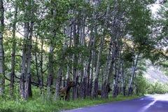 άλκες, canadensis Cervus Στοκ Φωτογραφίες