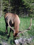 Άλκες Yellowstone Στοκ φωτογραφίες με δικαίωμα ελεύθερης χρήσης