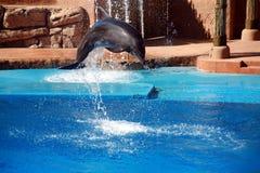 άλμα δελφινιών Στοκ εικόνα με δικαίωμα ελεύθερης χρήσης