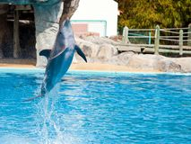 Άλμα δελφινιών Bottlenose υψηλό από το νερό bue Στοκ Φωτογραφίες
