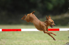 άλμα σκυλιών Στοκ εικόνα με δικαίωμα ελεύθερης χρήσης