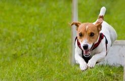 άλμα σκυλιών Στοκ Φωτογραφία