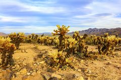 Άλμα των κάκτων Cholla στην περιοχή κήπων κάκτων, εθνικό πάρκο δέντρων του Joshua, Καλιφόρνια, ΗΠΑ Στοκ Εικόνα